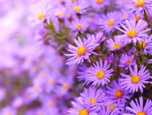 Astern in voller Blüte.