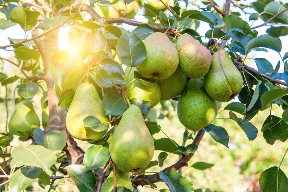 Heute gibt es mehr als 5000 Birnensorten. Sie entstanden aus Kreuzungen von Holz-, Wild- und anderen Birnenarten.