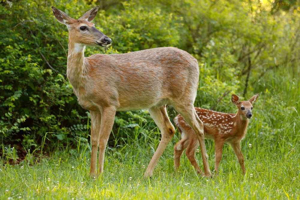Rehkitz mit Mutter am Waldrand.