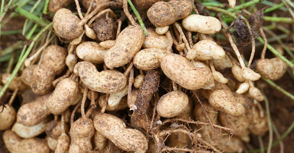 Im eigenen Garten: Erdnüsse züchten